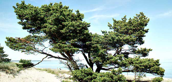 Yngsjö beach tree